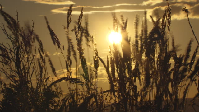 softly muted sunset through wispy plants and foliage - golden sunset through wheat fields. - 気まぐれな空点の映像素材/bロール