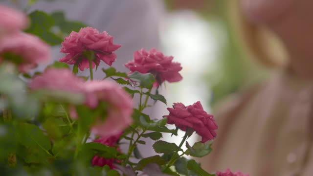 weichheit blume - rose stock-videos und b-roll-filmmaterial