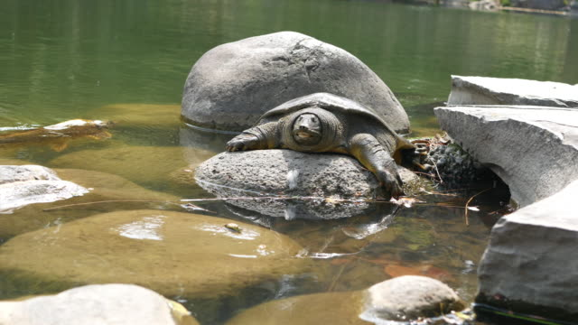 softshell turtle - turtle shell stock videos & royalty-free footage