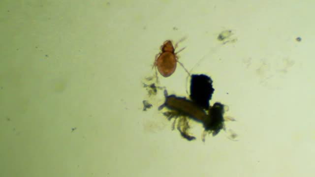 Soil microorganism - mite, soil arthropod
