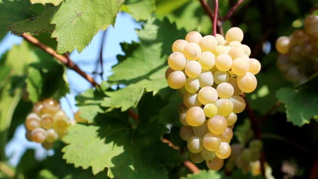 solar grape - grape leaf stock videos and b-roll footage