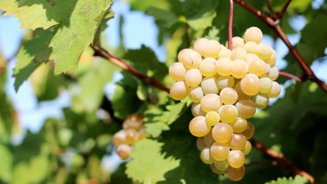 solar grape - grape leaf stock videos & royalty-free footage