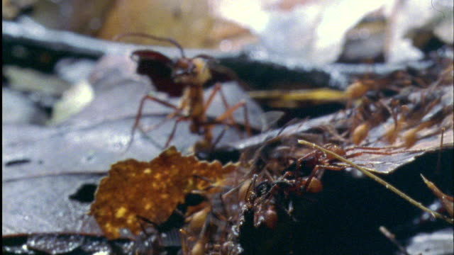 soldier ant guards line of foraging workers available in hd. - ant stock videos & royalty-free footage