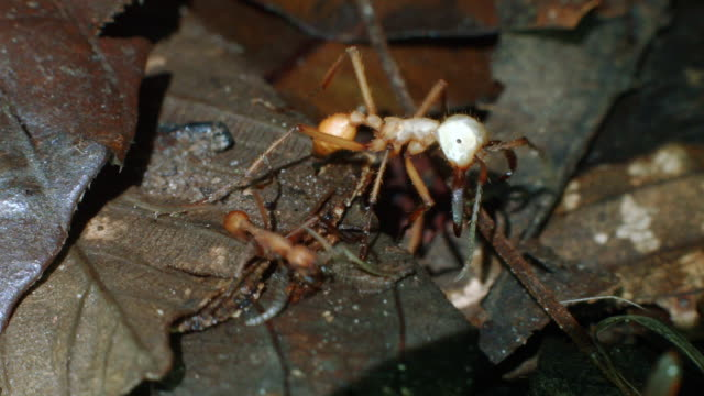 vídeos de stock, filmes e b-roll de soldier army ant (eciton hamatum) with large mandibles guarding a trail of workers on the rainforest floor in ecuador - parte do corpo animal