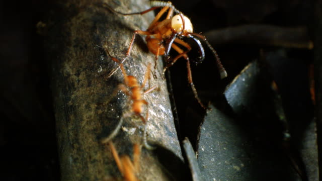 soldier army ant (eciton hamatum) with large mandibles guarding a trail of workers on the rainforest floor in ecuador - ant stock videos and b-roll footage