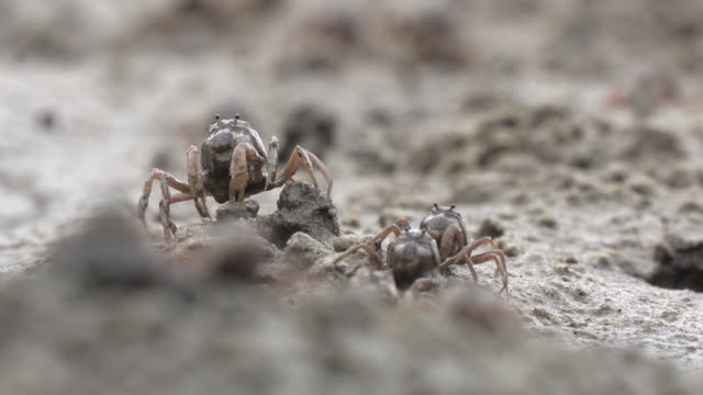 Soldier Crabs in Okinawa