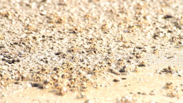soldaten krabben am strand - krabbe stock-videos und b-roll-filmmaterial