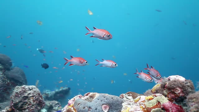 ms ts soldier fish swimming against blue water and reef ground / sipadan, semporna, tawau, malaysia - イットウダイ点の映像素材/bロール