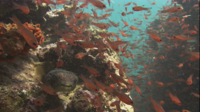 soldierfish surround a puffer fish hovering in some rocks. available in hd. - balloonfish stock videos and b-roll footage
