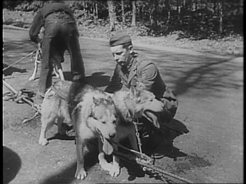 soldiers harnessing huskies / 70 dogs for 200 horse power engine pulling ten ton army truck as test / dogs get up begin to pull truck along road /... - gabbietta per animali video stock e b–roll