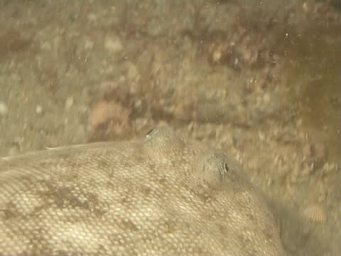 sole at night pov over head as swims along sea bed - flat fish stock videos and b-roll footage