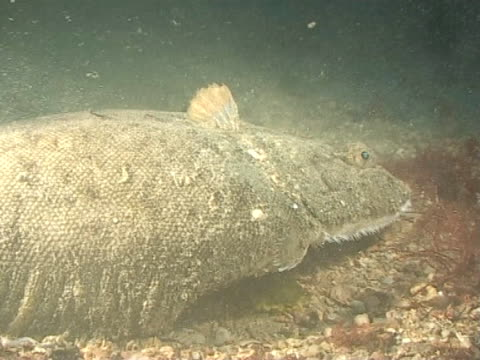 sole at night cu - flat fish stock videos and b-roll footage
