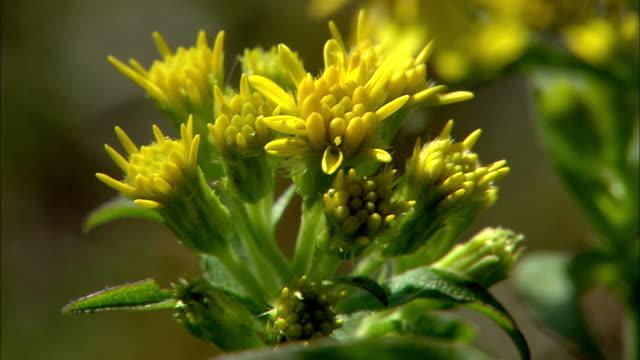 solidago virgaurea subsp - perennial stock videos & royalty-free footage
