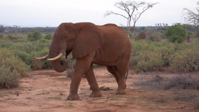 solitary african elephant bull roaming samburu national park, kenya - male animal stock videos & royalty-free footage