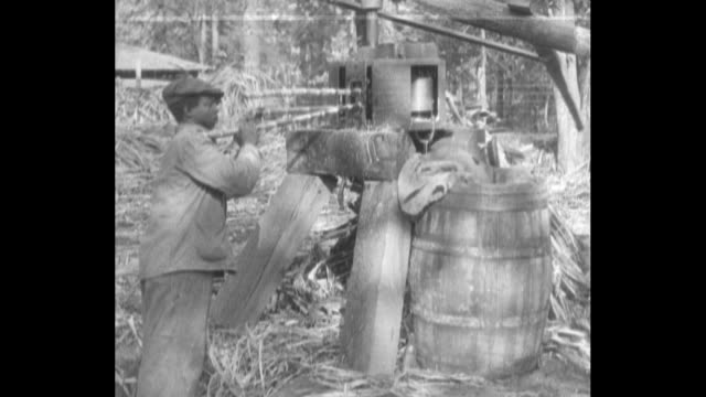 solitary mule harnessed to a wooden pole walks around a sugar press / an african american man feeds sugar cane into the press / men skim waste from... - vat stock videos & royalty-free footage