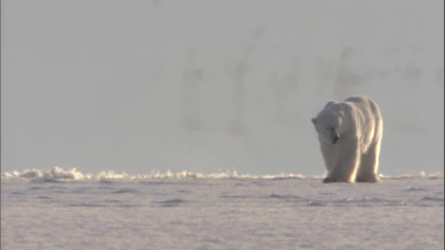 vidéos et rushes de a solitary polar bear passes through a heat shimmer. - arctique