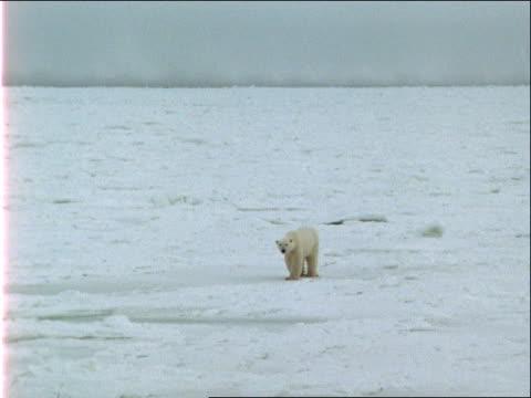 a solitary polar bear treks across a frozen wilderness. - zoology stock videos & royalty-free footage