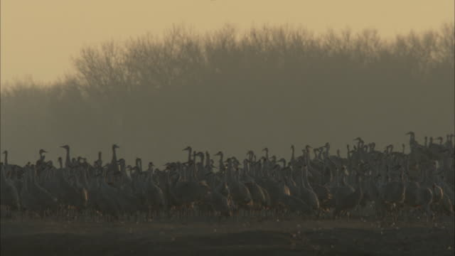 a solitary sandhill crane slowly glides over flocks in a marsh on a misty day. - sandhill crane stock videos & royalty-free footage