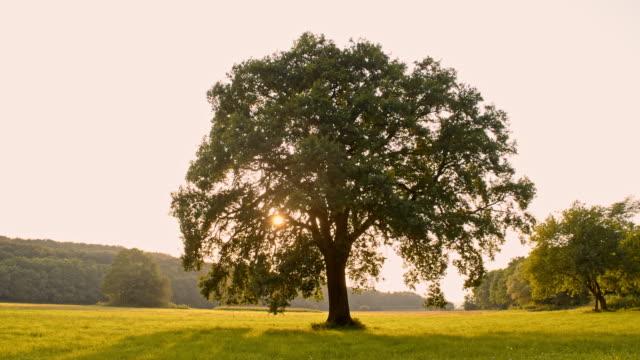 ds solitary tree at sunrise - albero video stock e b–roll