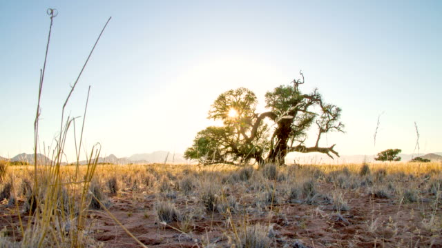 stockvideo's en b-roll-footage met la ds solitary tree in african savannah - namibië