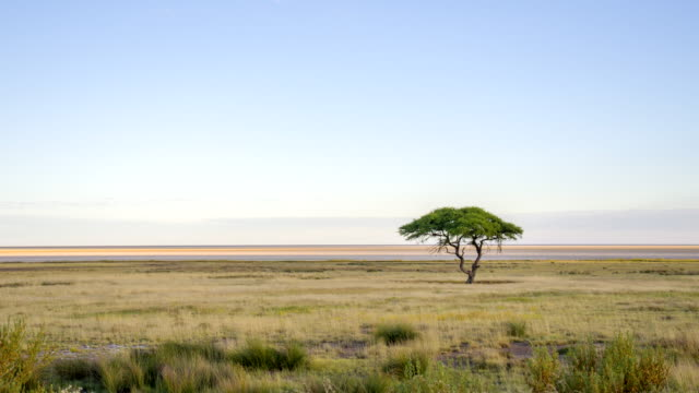 WS Solitary Tree In African Savannah