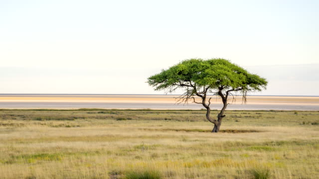 ls solitary tree in african savannah - grass area stock videos and b-roll footage