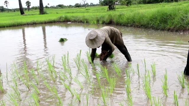 Solo farmer Pflanze Reis