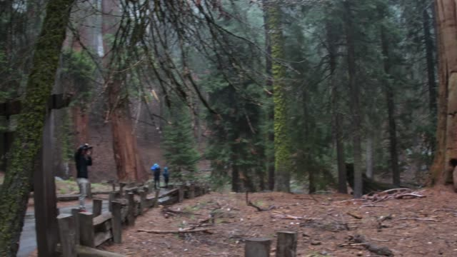 solo male tourist photographs giant sequoia trees - giant sequoia stock videos and b-roll footage