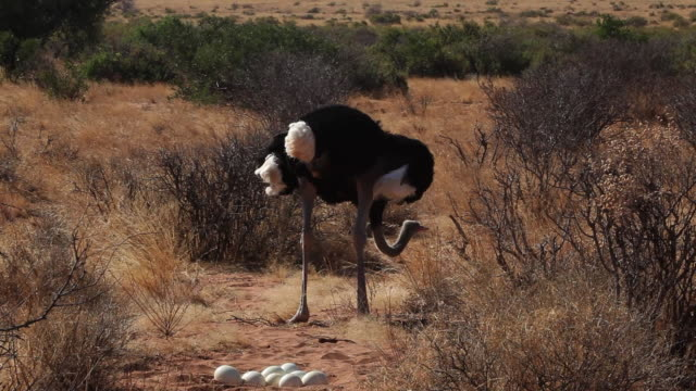 somali ostrich male nesting, kenya - bird's nest stock videos & royalty-free footage