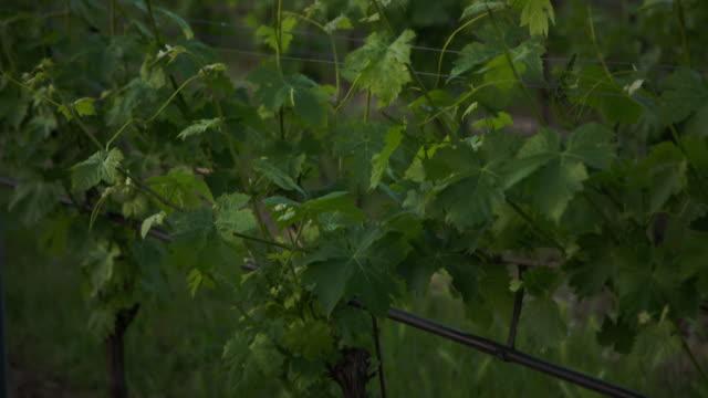 vídeos y material grabado en eventos de stock de some country houses next to the vineyard. - hoja de la vid