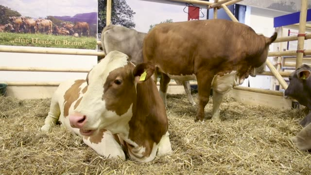 some cows stand in a pen at the 2018 international green week agricultural trade fair on january 19 2018 in berlin germany the international green... - tradeshow stock videos and b-roll footage