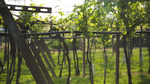 some gnats flying under the vineyard. - grape leaf stock videos and b-roll footage