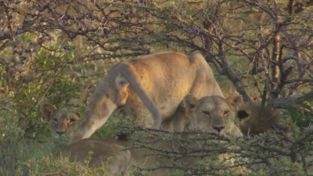 stockvideo's en b-roll-footage met ms pan some lions lying in grass and other walking / tanzania - kleine groep dieren