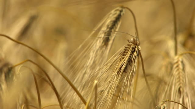 hd some swaying golden wheat ears foreground - hd 25 fps stock videos & royalty-free footage