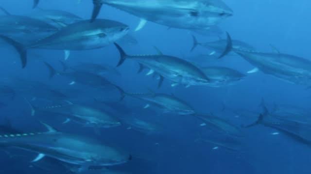 vídeos y material grabado en eventos de stock de some tunas are swimming into the fishing net - atún animal