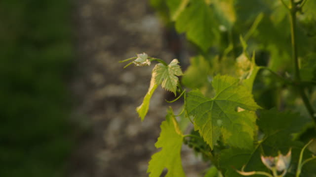 some vine's foliage at warm sunset light. - grape leaf stock videos and b-roll footage