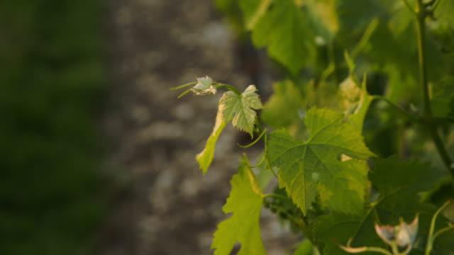 vídeos y material grabado en eventos de stock de some vine's foliage at warm sunset light. - hoja de la vid