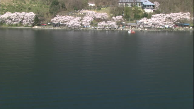 600 someiyoshino cherry trees blooming in full glory along the lakefront of kaizuosaki. - shiga prefecture stock videos & royalty-free footage