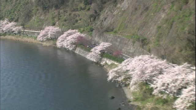 600 Someiyoshino cherry trees blooming in full glory along the lakefront of Kaizuosaki.