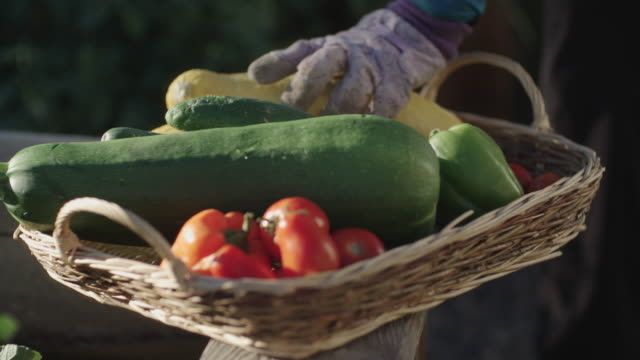vídeos de stock e filmes b-roll de someone with gardening gloves places a yellow summer squash into a basket of vegetables such as tomatoes and cucumbers - horta