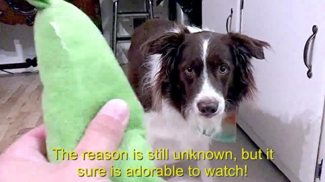 sometimes dogs bark when they want their toy, sometimes they whine. what this quirky border collie does in response to wanting his owner to give it... - animal mouth stock videos & royalty-free footage