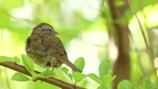 song sparrow - sparrow stock videos & royalty-free footage