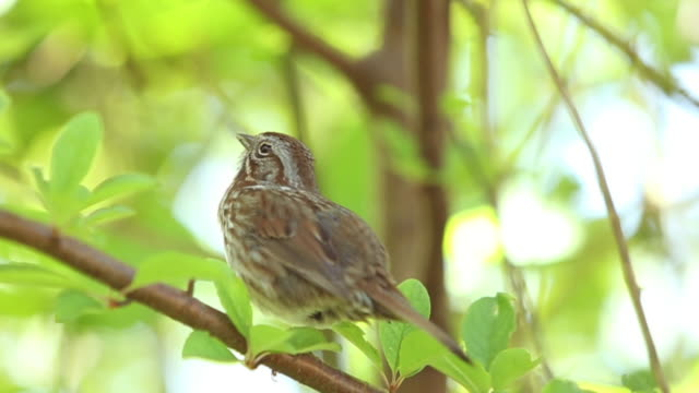 song sparrow - songbird stock videos & royalty-free footage