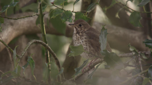 song thrush (turdus philomelos) in holly bush, cumbria, england - thrush stock videos & royalty-free footage