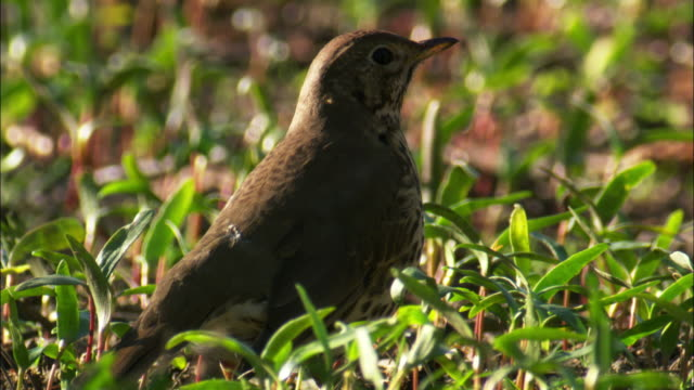 song thrush (turdus philomelos) in park, scotland, uk - thrush stock videos & royalty-free footage