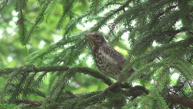 song thrush on spruce tree branch - thrush stock videos & royalty-free footage