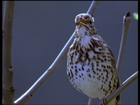 song thrush singing at dawn, forest of dean - bird stock videos & royalty-free footage