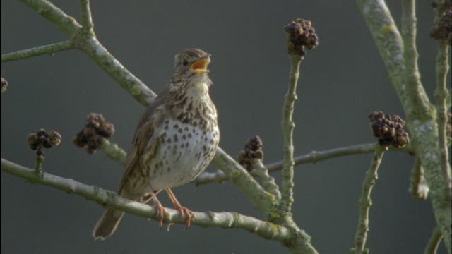 song thrush (turdus philomelos) sings during dawn chorus, forest of dean, uk - songbird stock videos & royalty-free footage
