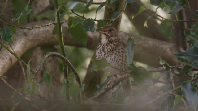 Song thrush (Turdus philomelos) sings in holly bush, Cumbria, England