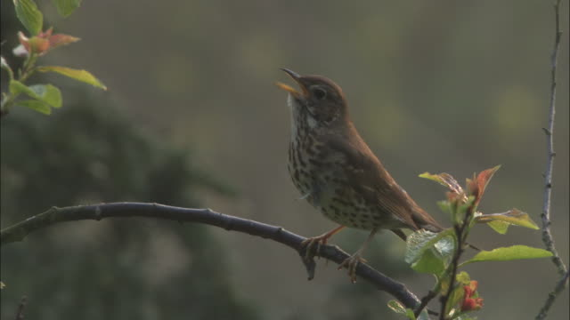 song thrush sings in spring woodland, uk - thrush stock videos & royalty-free footage